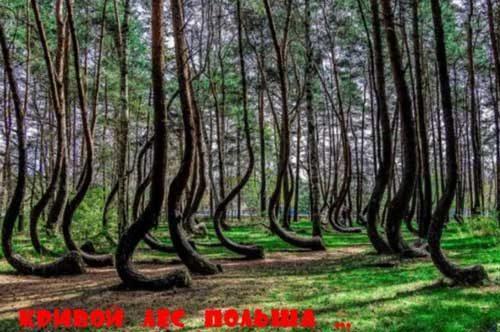 Кривой лес Западной Польши, странная аномалия