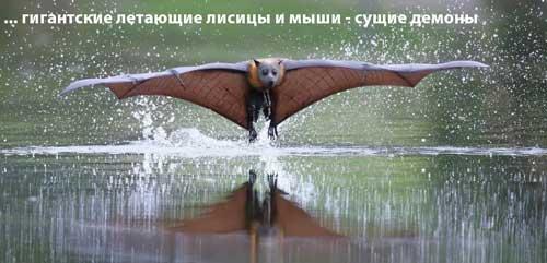 чупакабра или-гигантские летучие мыши-и лисицы